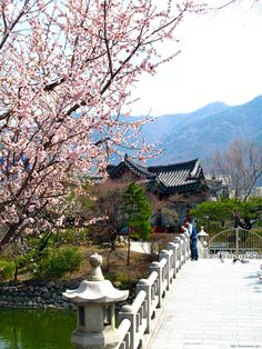 Cherry blossoms on bridge of Sangdang moat, Duryu Park, Daegu by Ken Eckert