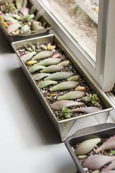 Propagate succulents with leaf cuttings. Using honey as root hormone. (little potted succulents as decor AND favors.):