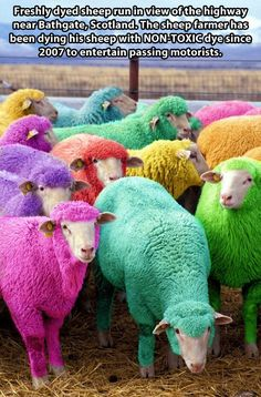Dyed sheep...this is hilarious