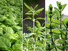 Plant Leaves, Herbs, Garden, Plants, Garten, Lawn And Garden, Herb, Gardens, Plant