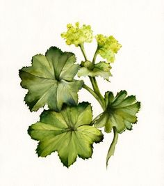 Ladys Mantle- botanical art print