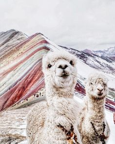 Amazing people (and llamas) at Rainbow mountain: 8 photos to discover this natural wonder in Peru Alpacas, Cute Alpaca, Llama Alpaca, Peru Llama, Rainbow Mountain Cusco, Wrinkly Dog, Cutest Animals On Earth, Baby Animals, Cute Animals