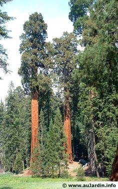 Le séquoia géant que l'on trouve sur la côte californienne