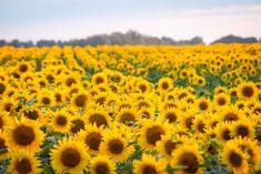 Desktop Wallpapers, Grande, Field Of Sunflowers, Flowers, Tumblr Photography, Naturaleza, Scenery, Fotografia, Backgrounds For Desktop