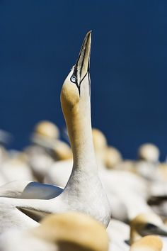 Close-up Of Gannet, Parc National De by Yves Marcoux Jacques Cartier, Canada Pictures, Canadian Travel, Cape Breton, O Canada, Parc National, Largest Countries, Quebec City, Sea Birds