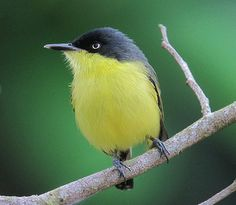 Common Tody-Flycatcher (Todirostrum cinereum) Mexico, Central and South America