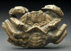 Avitelmessus grapsoideus Fossil Crab
