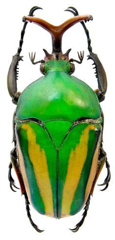 Eudicella gralli est un insecte appartenant à l\'ordre des coléoptères, au sous…