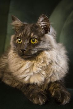 Rocket, our 6-month old Siberian cat