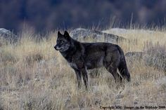 to see wolves in Yellowstone Wolf in Yellowstone National Park, photo by Denver Bryan Yellowstone National Park, National Parks, Yellowstone Wolves, Wolf Population, Wolf Dogs, Wolf Photography, Animal Totems, Werewolf, Silhouettes