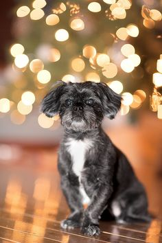 Pet Portrait with the Christmas Tree - Christopher|F Photography