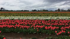 Tulip Festival. What to do in Oregon. This Dreamy Life of Mine