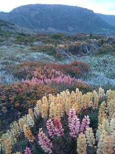 Reminds me of the lupines of Nova Scotia - pastel frosted meadow