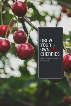 Learn everything you need to know about how to grow Cherry Trees, including pollination, care and maintenance and harvest. Growing Cherry Trees, Growing Tree, Growing Flowers, Growing Plants, Planting Cherry Trees, Chicken Garden, Veg Garden, Fruit Garden, Garden Trees