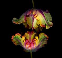 flores exóticas  Tulipa Papagaio