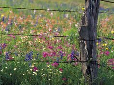 Fence Post and Wildflowers, Lytle, Texas, USA Photographic Print by Darrell Gulin at AllPosters.com
