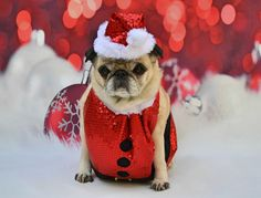 Our Bailey Puggins wishing everyone a Merry Christmas #pug #dog #Christmas #Santa #costume #cute