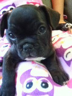 Puppy French Bulldog!