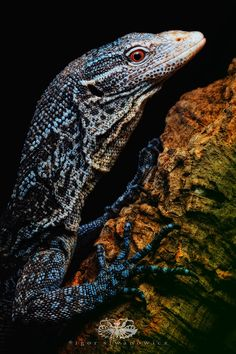 Indonesian blue tree monitor. Photo by Igor Siwanowicz from his book, Animals Up Close