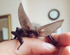 Ahhh bat ears...so precious