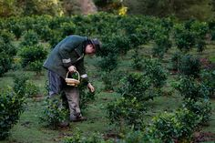 Wesley Goldsworthy picks tea leaves at the Tregothnan Estate, Jan. 14, 2013. Tregothnan is situated in England's southwest and benefits from an unusual microclimate similar to that of Darjeeling in India. (Stefan Wermuth/Reuters)