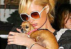 22-Apr-2015 14:25 - 'CHIHUAHUA-HANDTASHONDJES ZWAKKER DOOR PARIS HILTON'. De schatrijke Amerikaanse hotelketenerfgename Paris Hilton (34) is ontroostbaar sinds gisteren haar voornaamste mode-accessoire - schoothondje…...