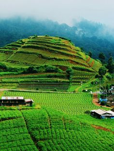 Field of vegetable,Sumber Brantas -Batu_Malang/Indonesia