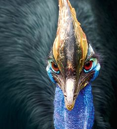 A Cassowary, around the same size as an emu or ostrich and lives in the rainforests of North Queensland Australia