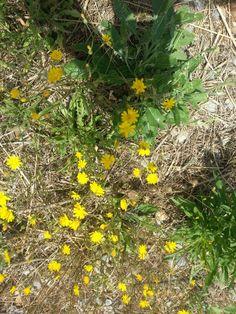 Yellow - Calonge