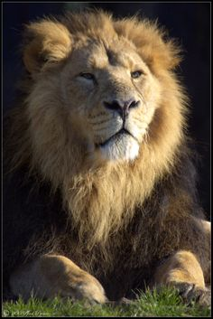 Asiatic Lion by lomoboy on DeviantArt