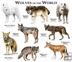 Lobos del mundo