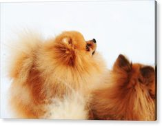 Dog Acrylic Print featuring the photograph Two Red Sisters by Jenny Rainbow Art Prints For Home, Fine Art Prints, Pet Dogs, Pets, Thing 1, Acrylic Sheets, Got Print, Art Techniques, Fine Art Photography