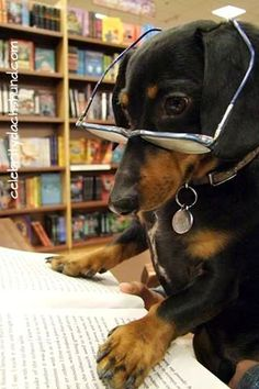 It says here that I should recieve multiple puppy treats a day Crusoe the Celebrity Dachshund