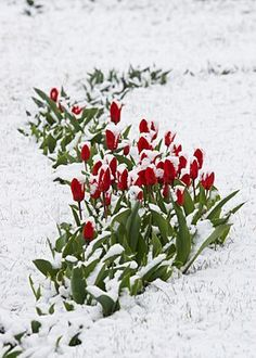 Tulips Fallen Asleep By Last Snow Of Leaving Winter Royalty Free Stock Photo, Pictures, Images And Stock Photography. Spring Snow, Winter Snow, Snow Scenes, Winter Scenes, Winter Magic, Red Tulips, Winter Beauty, Fauna, Winter Garden