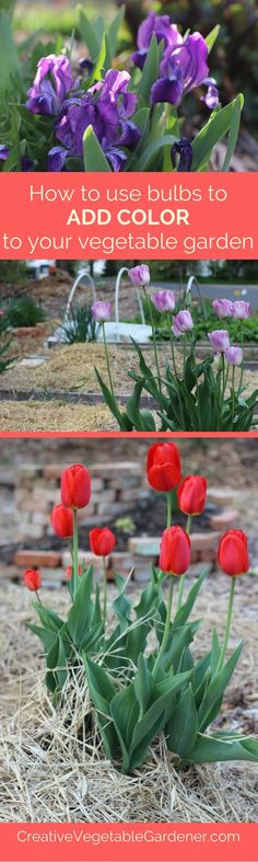 Plant bulbs in fall to add much needed color to your spring vegetable garden.