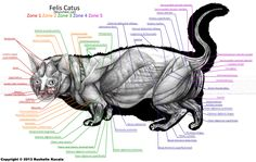 Munchkin Cat Muscle Anatomy by TheDragonofDoom.deviantart.com on @deviantART