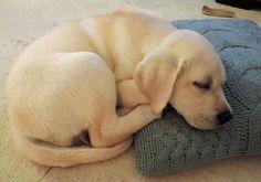 Lilly the Labrador Retriever