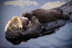 Sea Otter gives birth to newborn pup in Monterey Bay Aquarium Tide Pool. Photo: Tyson V. Rininger, Monterey Bay Aquarium / ©Monterey Bay Aquarium Monterey Bay Aquarium, Baby Otters, Otter Pup, Otter Love, Cute Animal Videos, Cute Baby Animals, Bored Panda, Stuffed Animals, Snuggles
