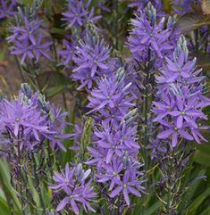E is for Edulis - Camassia esculenta