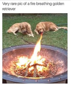Very rare pic of a fire breathing golden retriever