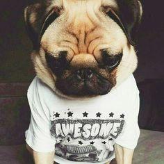 "🐾""I'm totally pawsome!""🐾 www.jointhepugs.com/ #pug #pugpower #pugsnotdrugs #puglife #puglove #cuteness #pugs #puglover #dogs #animals"