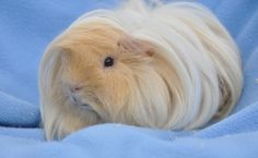 A Short Guide to the Peruvian Guinea Pig | Pets4Homes