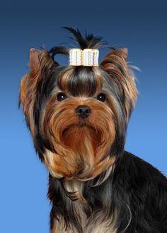 fotos de perros de raza yorkies