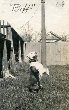 Uplifting So You Want A American Pit Bull Terrier Ideas. Fabulous So You Want A American Pit Bull Terrier Ideas. Vintage Pictures, Old Pictures, Nanny Dog, Vintage Dog, Pit Bull Love, Bull Terrier Dog, Old Dogs, Dog Photos, Dogs And Puppies