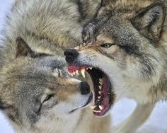 Off with your head!! Narcissistic Rage (timber wolves)
