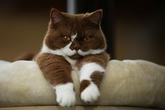 Brown/white British shorthair cat