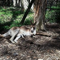 Kangaroo and joey taking it easy in the shade  #aussie#qld#australia#discoverqueensland#goldcoast#currumbinwildlifesanctuary#kangaroo#joey#peekaboo# by 13rusty79 http://ift.tt/1X9mXhV
