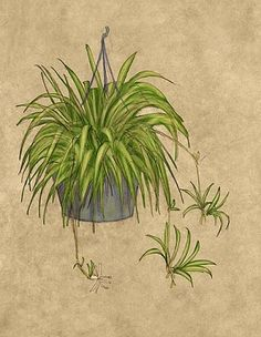 spider plants spider and houseplant on pinterest. Black Bedroom Furniture Sets. Home Design Ideas