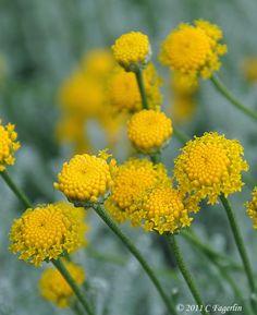 Santolina   Thru my yellow shades ...jp...