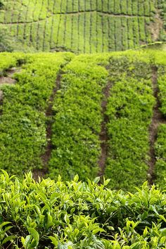 Sungai Pala Boh Tea Estate, Malaysia's Cameron Highlands Daniel Trim